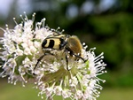 Trichius fasciatus